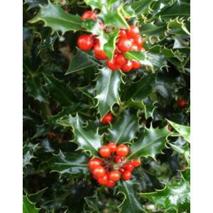 Ilex aquifolium 'Alaska' – Magas törzsű magyal