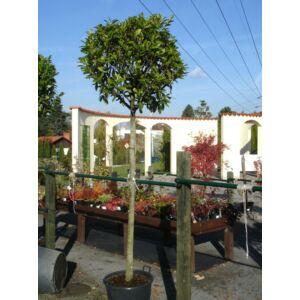 Prunus laurocerasus 'Novita' – Magas törzsű babérmeggy