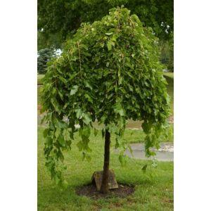 Morus alba 'Pendula' - Csüngő eperfa