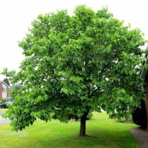 Morus nigra – Fekete eperfa