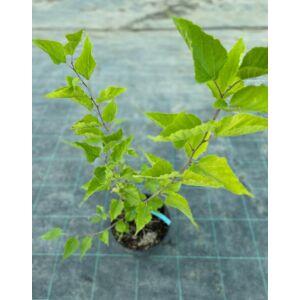 Morus rotundifolia 'BonBonBerry' – Kereklevelű eperfa