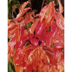 Parrotia persica 'Október' - 'Október' perzsafa (extra méretű koros)