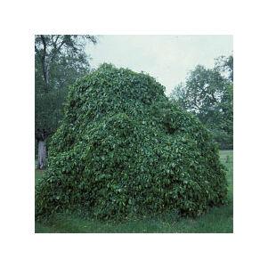 Parrotia persica 'Pendula' – Csüngő perzsa varázsfa