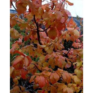 Parrotia persica 'Select' – Perzsa varázsfa