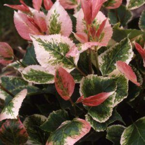 Populus candicans x 'Aurora' – Fehér tarka levelű nyárfa