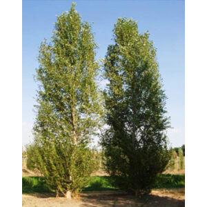 Populus simonii 'Fastigiata' – Oszlopos kínai nyár