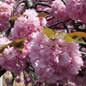 Prunus serrulata 'Kanzan' - Rózsaszín virágú japán díszcseresznye