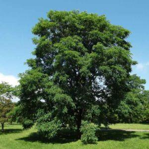 Robinia pseudoacacia 'Burgundy' – Fehér akác