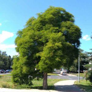 Robinia pseudoacacia 'Microphylla' – Fehér akác
