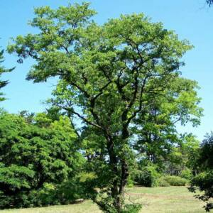 Robinia pseudoacacia 'Tortuosa' – Fehér akác