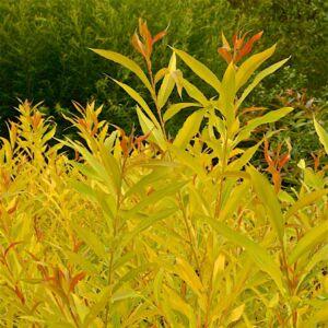 Salix alba 'Aurea' – Fehér fűz