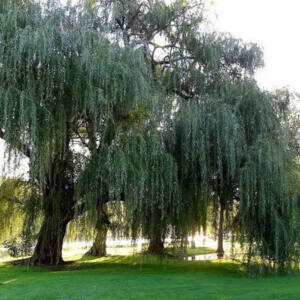 Salix alba 'Strachowo' – Fehér fűz