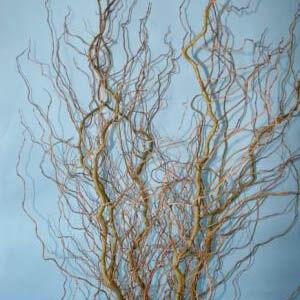 Salix 'Caradoc' – Csavartfűt