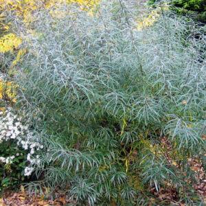 Salix elaeagnos 'Angustifolia' – Keskenylevelű parti fűz