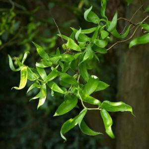 Salix matsudana – Mandzsu fűz