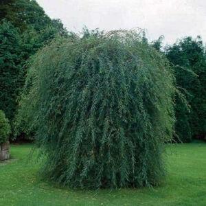 Salix purpurea 'Pendula' – Csüngő csigolyafűz