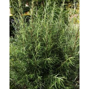 Salix rosmarinifolia – Serevényfűz