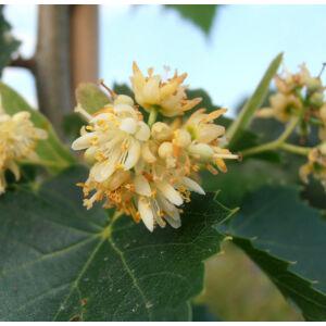 Tilia mongolica 'Harvest Gold' - Mongol hárs