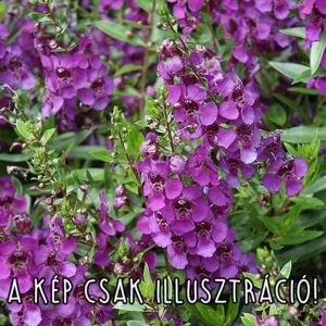 Angelonia angustifolia 'Angelart® Dark Purple' – Keskenylevelű angyalfüzér