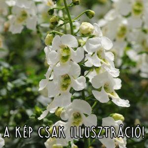 Angelonia angustifolia 'Angelart® White' – Keskenylevelű angyalfüzér