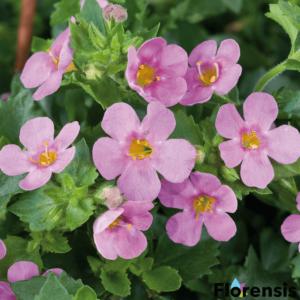 Sutera cordata 'Great® Pink' – Bakopa (hópehelyvirág)