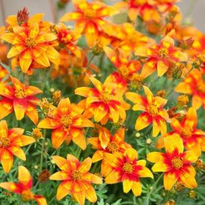 Bidens ferulifolia 'Bidy Bob® Flame' – Balkon aranya