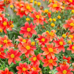 Bidens ferulifolia 'Bidy Bob® Red' – Balkon aranya