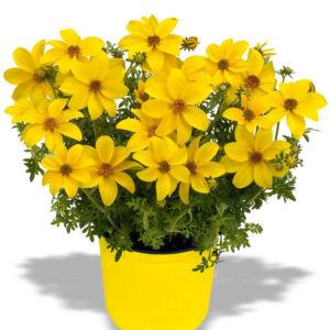 Bidens ferulifolia 'Bidy Gonzales® Double Yellow' – Balkon aranya