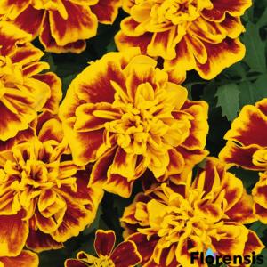 Tagetes patula nana 'Bonanza® Bee' – Bársonyvirág