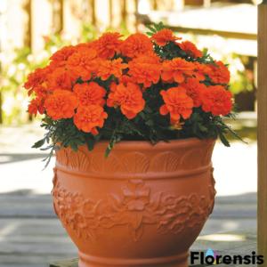 Tagetes patula nana 'Bonanza® Deep Orange' – Bársonyvirág