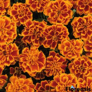 Tagetes patula nana 'Bonanza® Flame' – Bársonyvirág