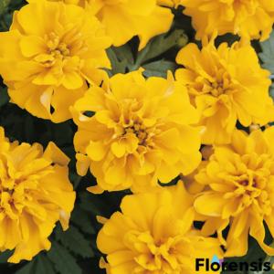 Tagetes patula nana 'Bonanza® Gold' – Bársonyvirág