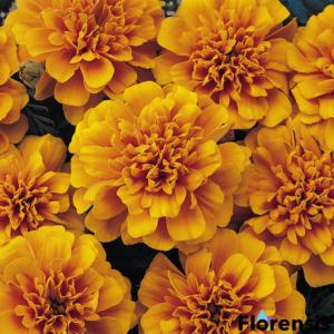 Tagetes patula nana 'Bonanza® Orange' – Bársonyvirág