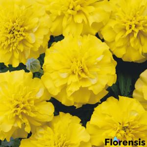 Tagetes patula nana 'Bonanza® Yellow' – Bársonyvirág