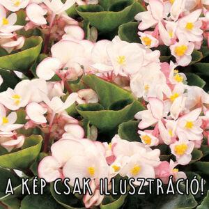 Begonia semperflorens 'Angy® Bicolor' – Begónia