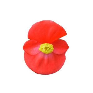 Begonia semperflorens 'Angy® Scarlet' – Begónia