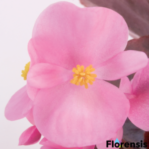Begonia semperflorens 'New Globe® Rose' - Bordó levelű begónia