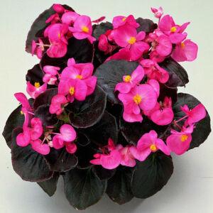 Begonia semperflorens 'Senator® Rose' – Begónia