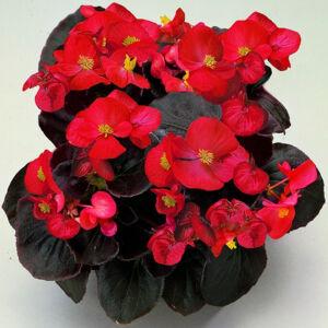 Begonia semperflorens 'Senator® Scarlet' – Begónia