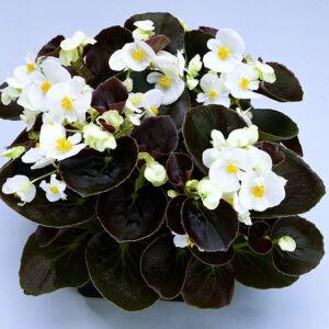 Begonia semperflorens 'Senator® White' – Begónia