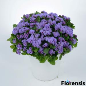 Ageratum houstonianum 'Aquileria Violet Blue' – Bojtocska