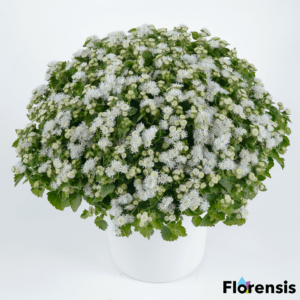 Ageratum houstonianum 'Aquileria White' – Bojtocska
