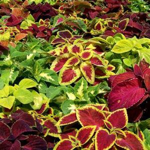 Coleus 'Wizzard® Mix' – Virágcsalán (színkeverék)