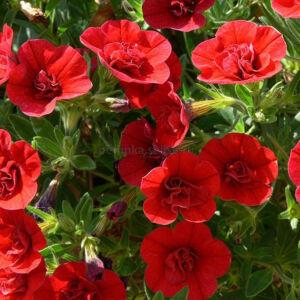 Calibrachoa 'Aloha® Double Cherry Red' – Dúsvirágú petúnia