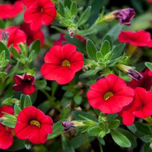 Calibrachoa 'Aloha Kona® Dark Red' – Dúsvirágú petúnia