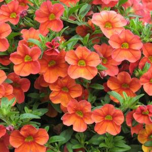 Calibrachoa 'Aloha Kona® Hot Orange' – Dúsvirágú petúnia
