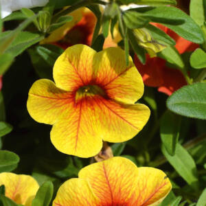 Calibrachoa 'Aloha Kona® Pineapple' – Dúsvirágú petúnia