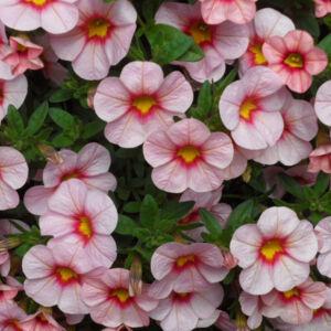 Calibrachoa 'Aloha Kona® Tiki Soft Pink' – Dúsvirágú petúnia