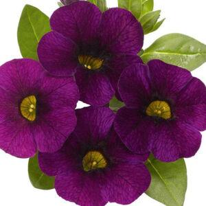 Calibrachoa 'Aloha® Midnight Purple' – Dúsvirágú petúnia