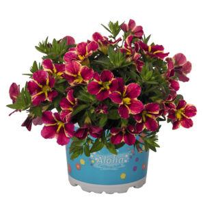 Calibrachoa 'Aloha Nani® Cherry Cart Wheel' – Dúsvirágú petúnia